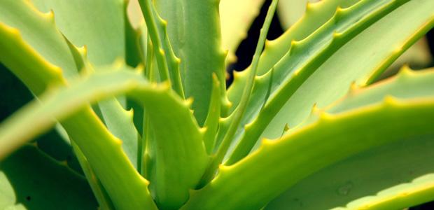 Aloes zwyczajny w doniczce